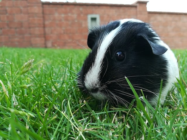 What kind of insect can guinea pigs eat?
