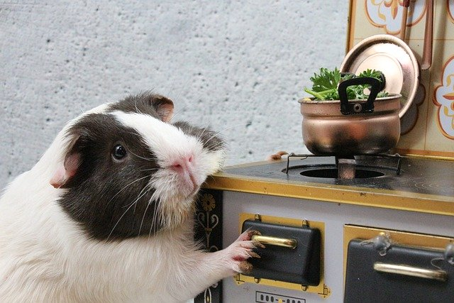 Can guinea pigs eat cooked food?