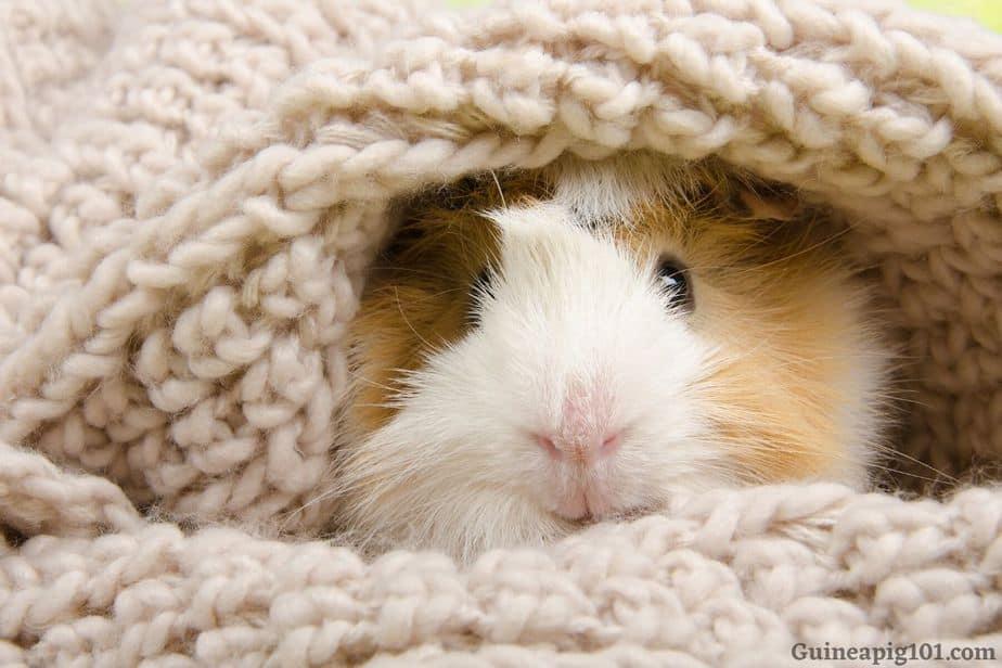 Guinea pig safe blankets