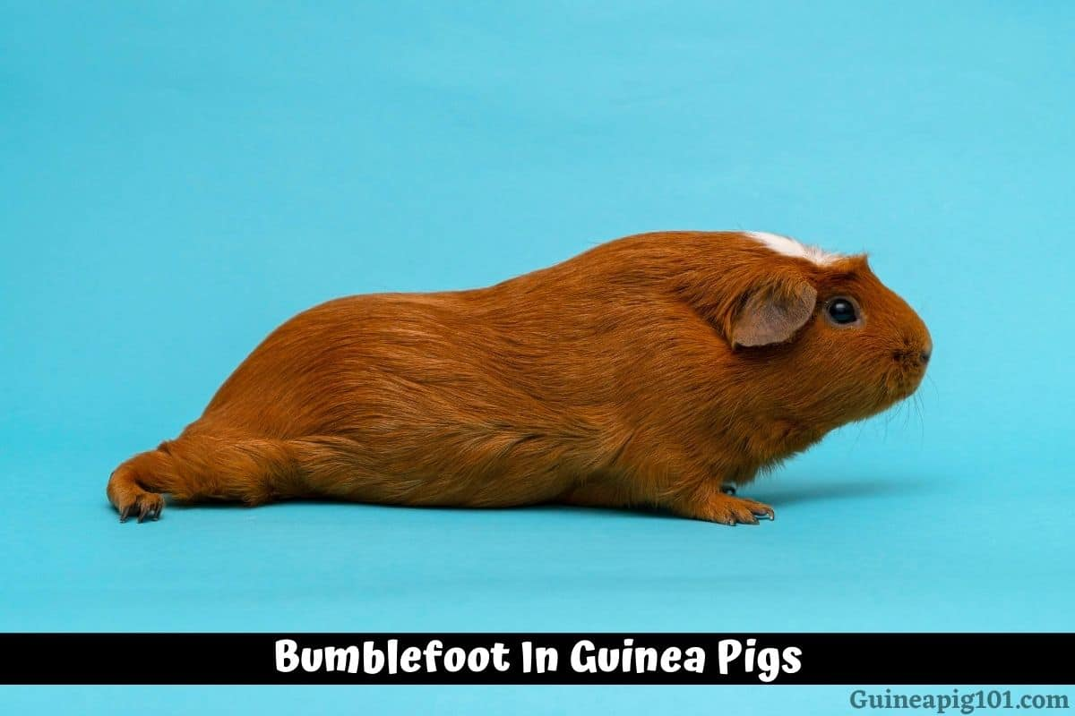Bumblefoot In Guinea Pigs (Pododermatitis): Causes, Signs & Treatment