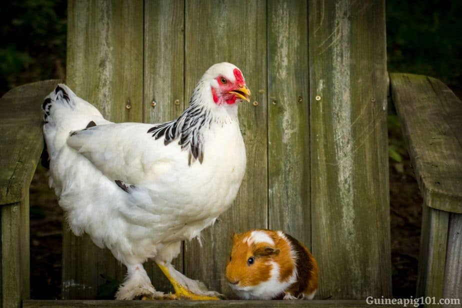 guinea pigs and chickens