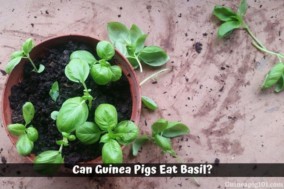 Can Guinea Pigs Eat Basil?
