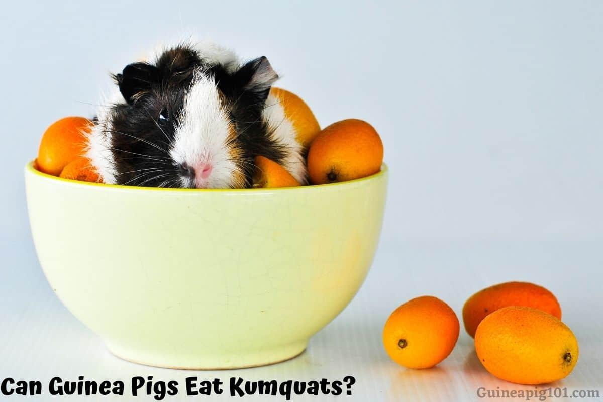 Can Guinea Pigs Eat Kumquats