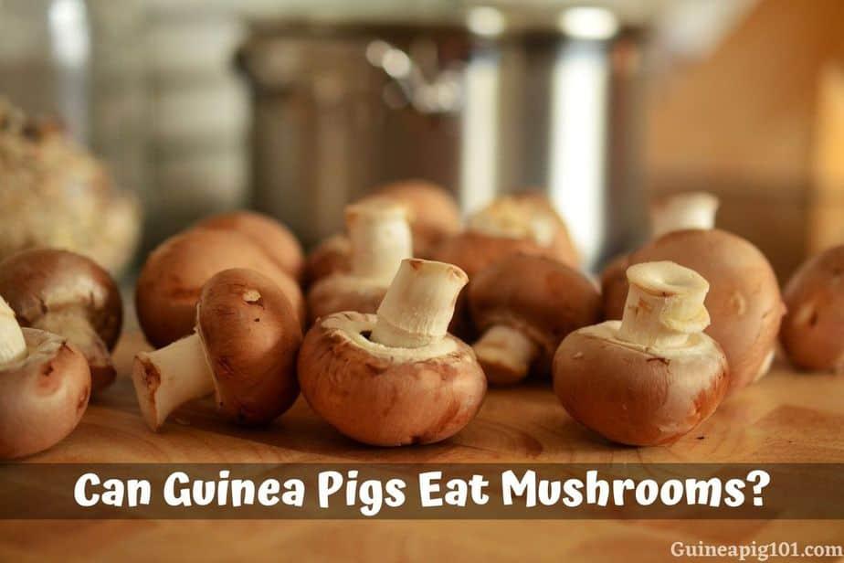 Can Guinea Pigs Eat Mushrooms