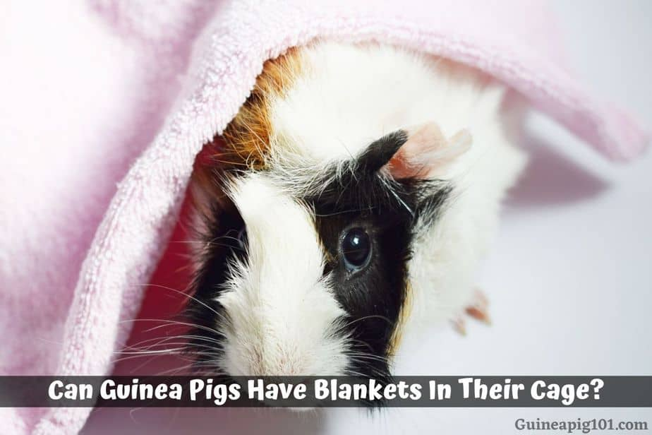 Can Guinea Pigs Have Blankets In Their, Can You Use Microfiber Towels For Guinea Pig Bedding