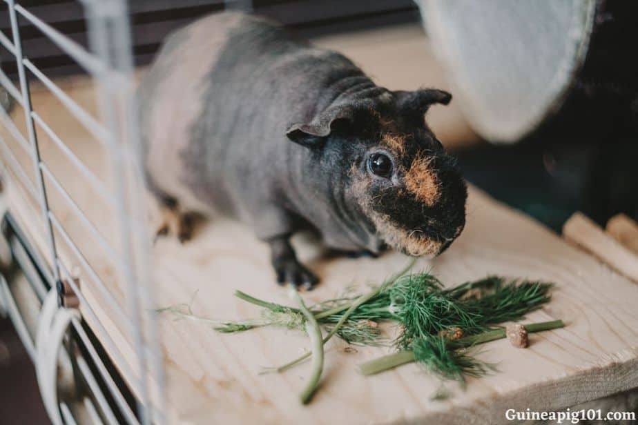 How much dill can guinea pigs eat at a time?