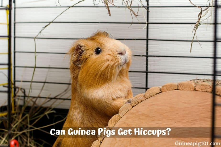 Can Guinea Pigs Get Hiccups