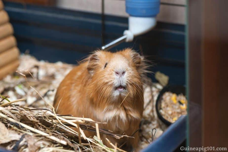 Can guinea pigs drink water from Bottles