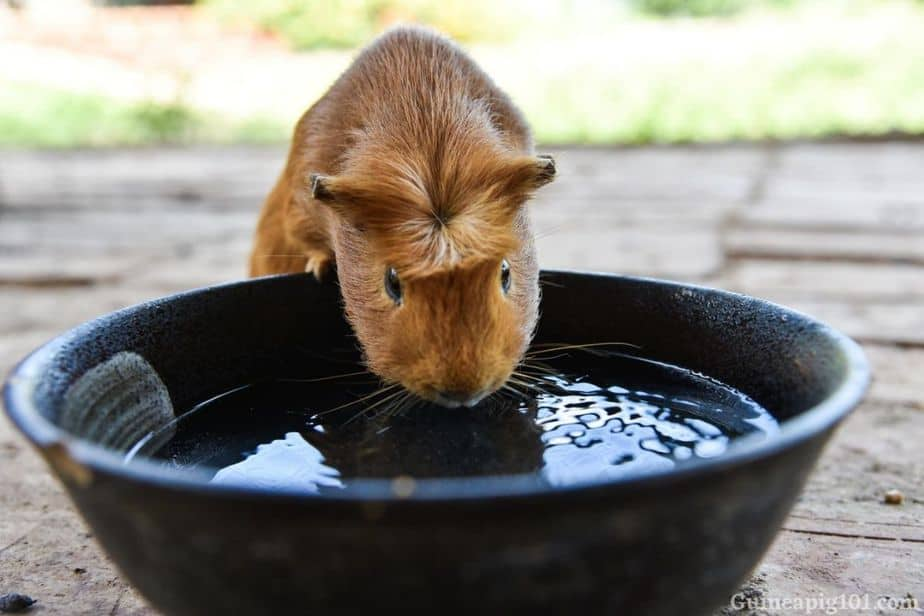Can guinea pigs drink water from a bowl