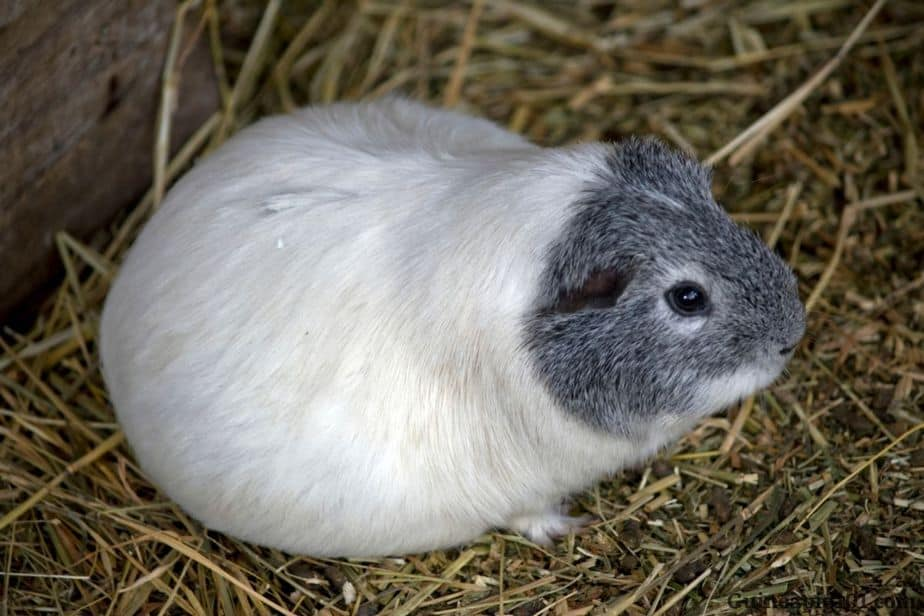 Signs of pregnancy in guinea pigs