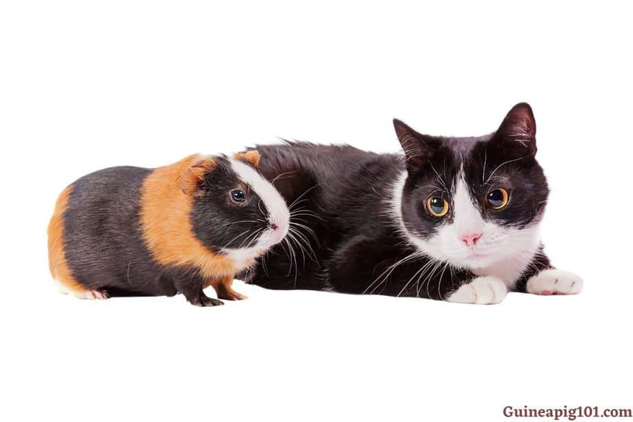 Are guinea pigs more affectionate than cats