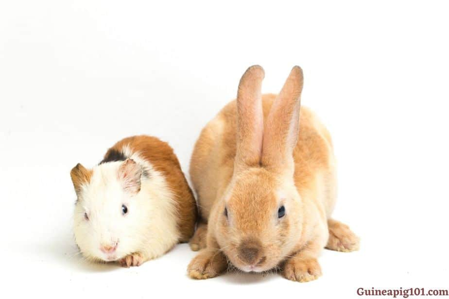 Are guinea pigs more affectionate than rabbits