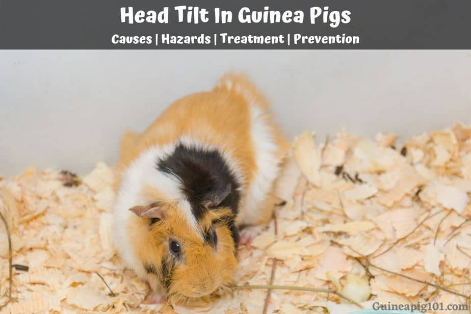 Head Tilt In Guinea Pigs Causes, Can You Use Microfiber Towels For Guinea Pig Bedding