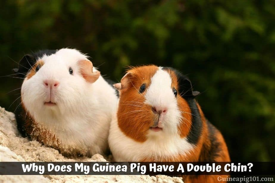Why Does My Guinea Pig Have A Double Chin