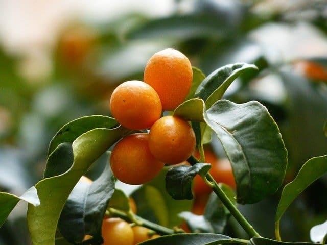 Can guinea pigs eat kumquat tree leaves?