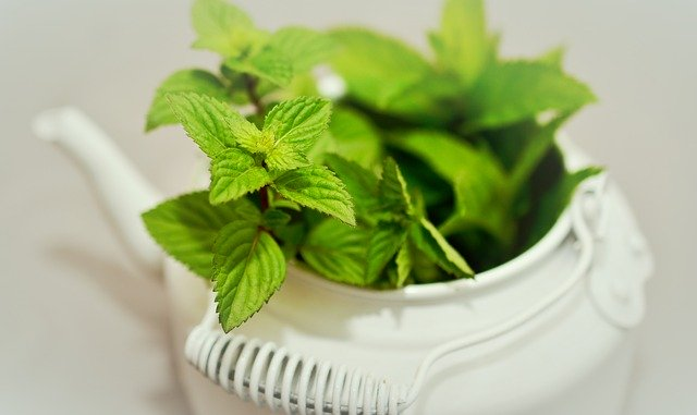 Mint for guinea pigs
