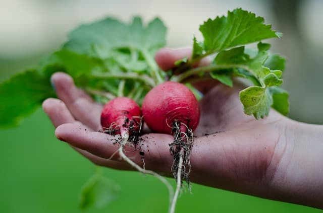 Is radish good for our guinea pigs?