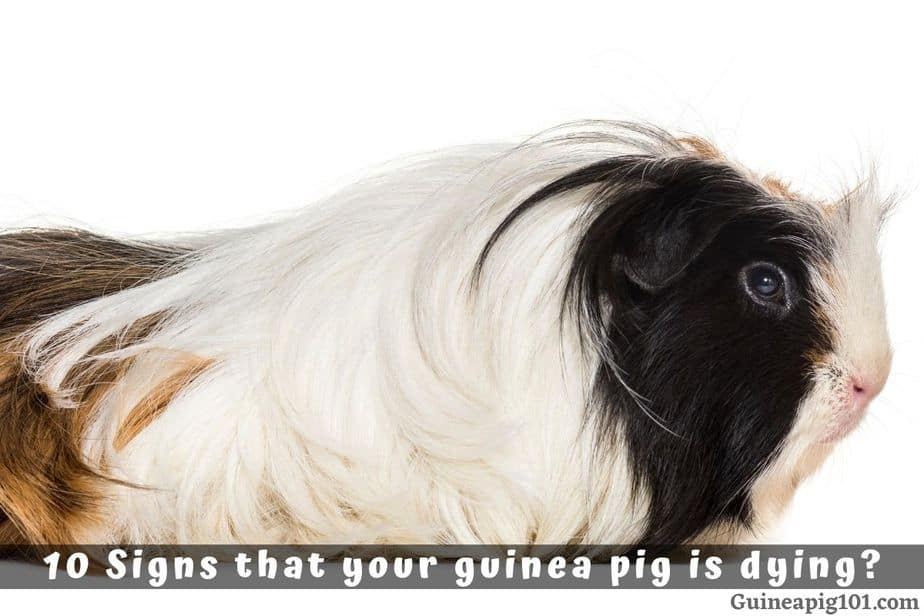 10 Signs that your guinea pig is dying