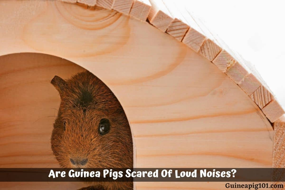 Are Guinea Pigs Scared Of Loud Noises