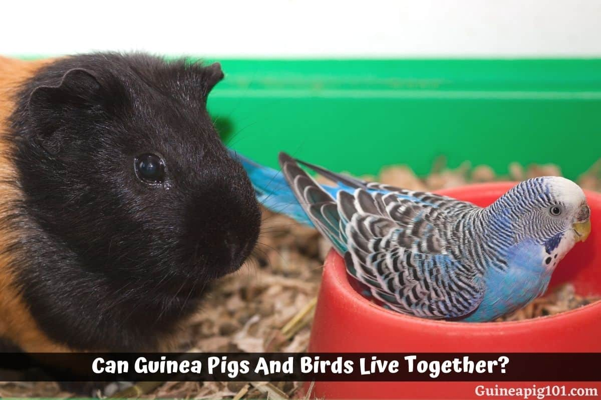 Can Guinea Pigs And Birds Live Together?