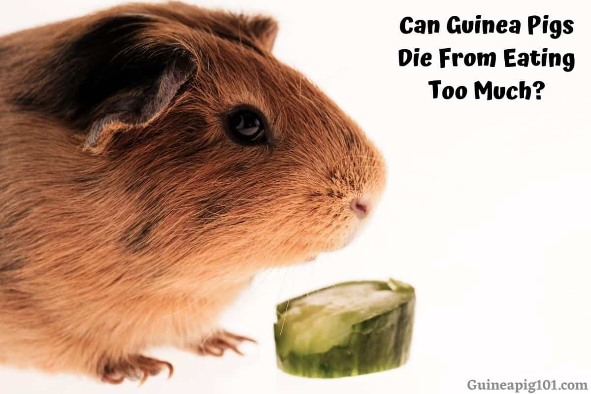 Can Guinea Pigs Die From Eating Too Much?