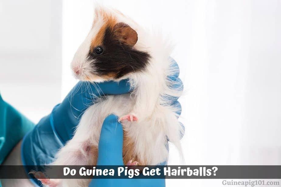 Do Guinea Pigs Get Hairballs?