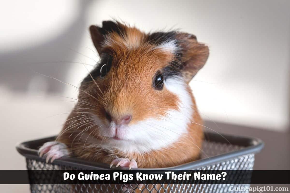 Do Guinea Pigs Know Their Name?