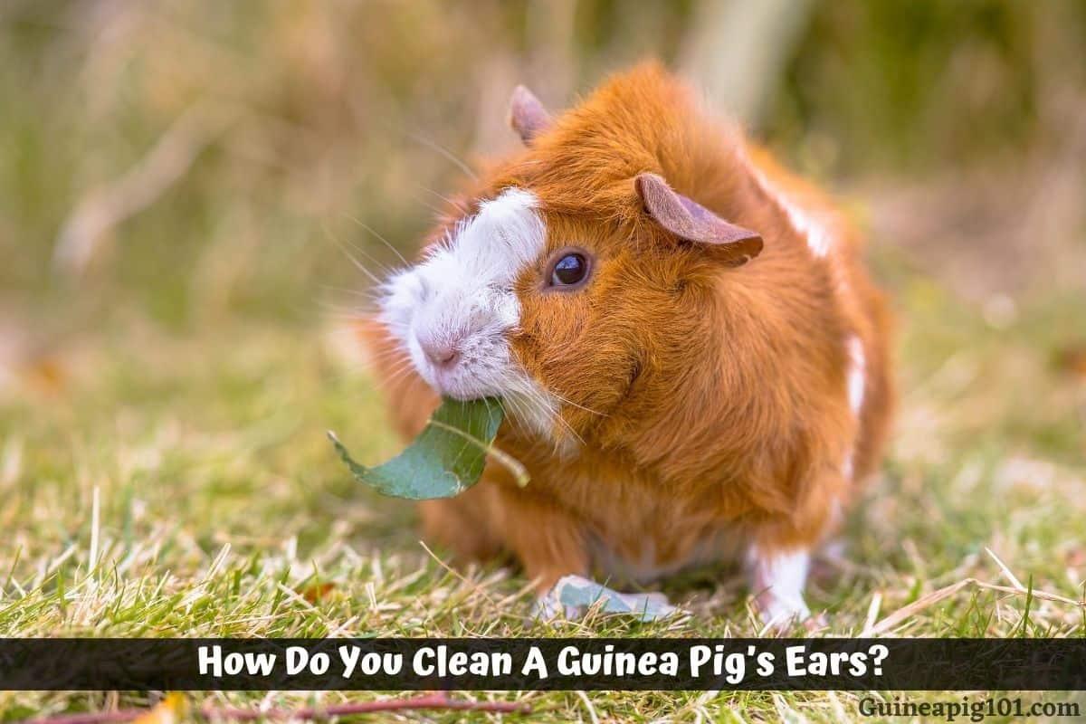 How Do You Clean A Guinea Pig's Ears?