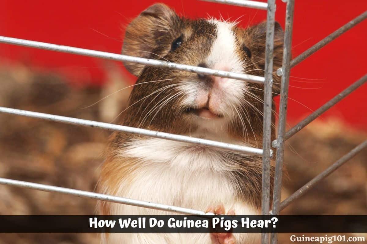 How Well Do Guinea Pigs Hear?