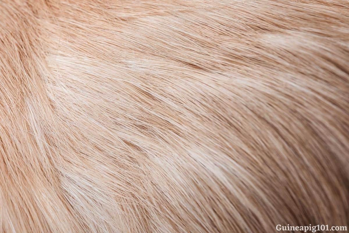 How do I get rid of ticks on my guinea pig