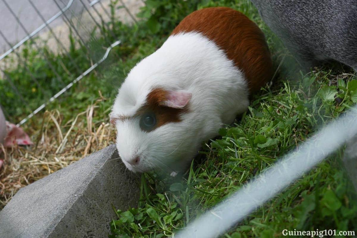 How do guinea pigs get ticks