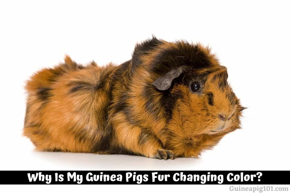 Why Is My Guinea Pigs Fur Changing Color?