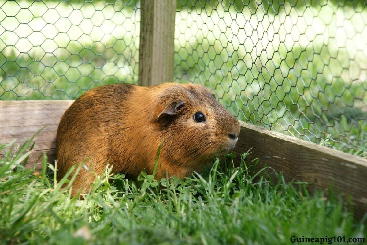 Can guinea pigs live outside all year round?