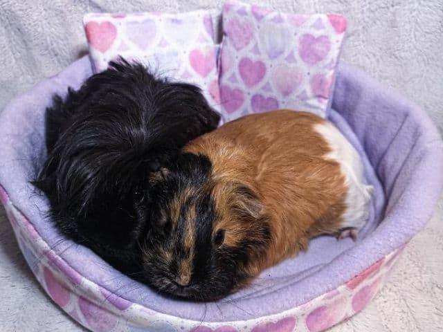 Esty-Guinea-Pig-Snuggle-Cup