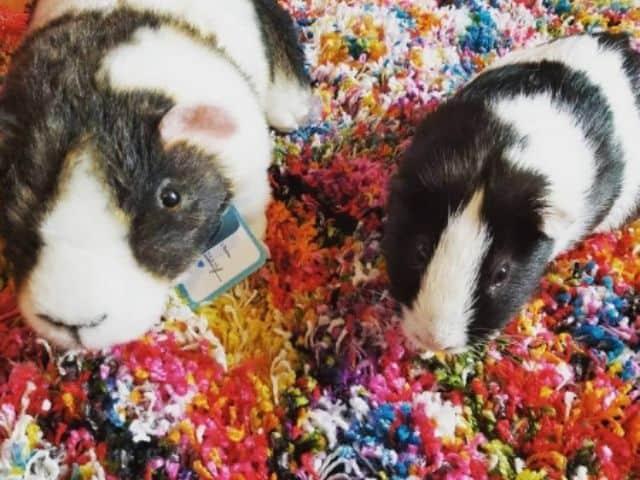 Petsies Guinea Pig Stuffed Animal