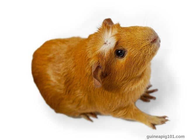 Are Guinea Pigs Noisy At Night? What noises do guinea pigs make?