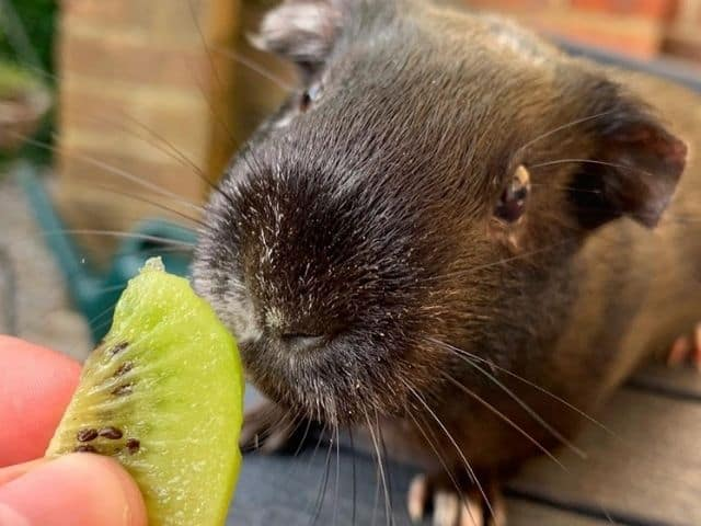 Is kiwi good for guinea pig's health_